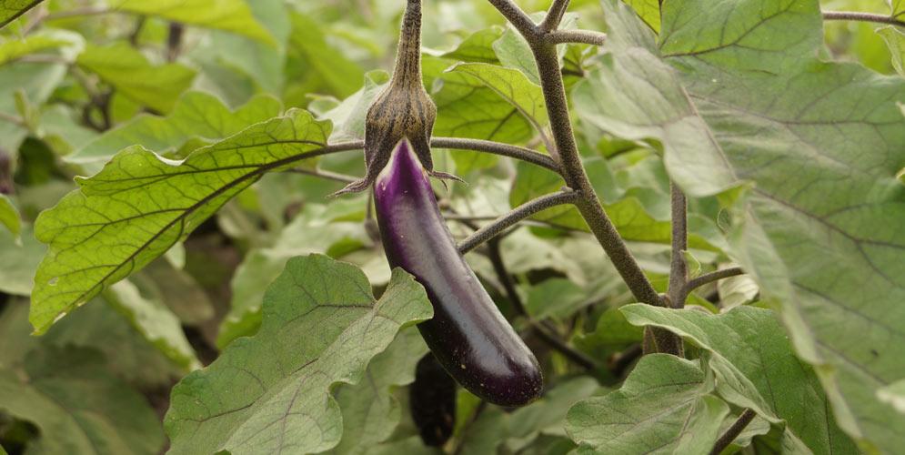 2-aubergine-chinoise